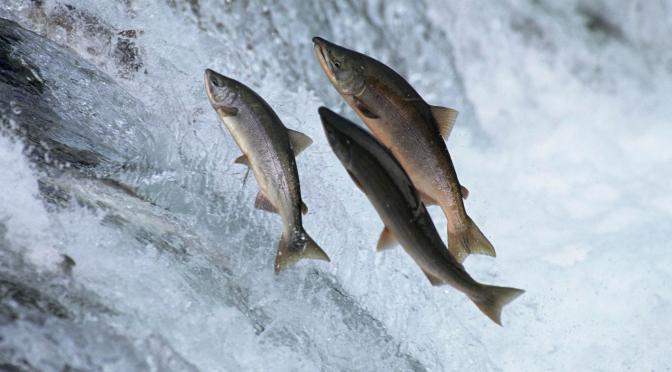 Apologia golosa del salmone