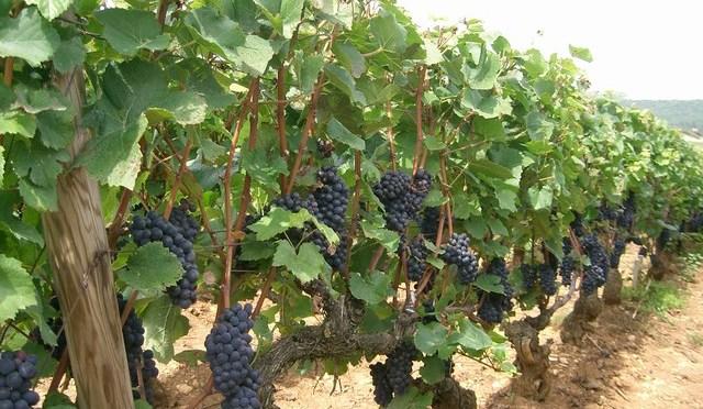 l'inebriante fascino del Pinot Nero