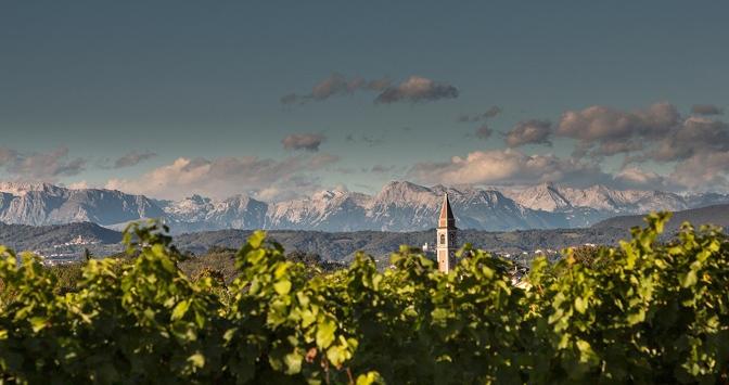 Gioventù, maturità e varianti di due vitigni che hanno fatto la storia del Friuli vitivinicolo moderno
